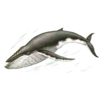 Горбач или горбатый кит